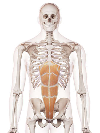 rectus: medically accurate muscle illustration of the rectus abdominis
