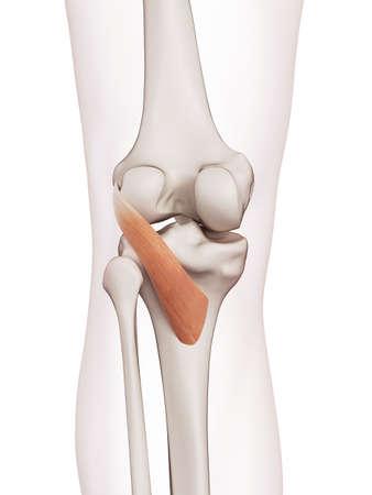 医学的に正確な筋膝窩筋の図 写真素材