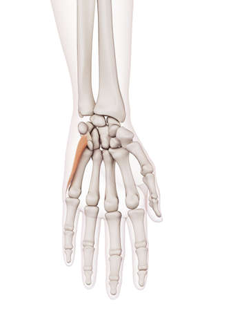 wrist joint: medically accurate muscle illustration of the opponens digiti minimi Stock Photo