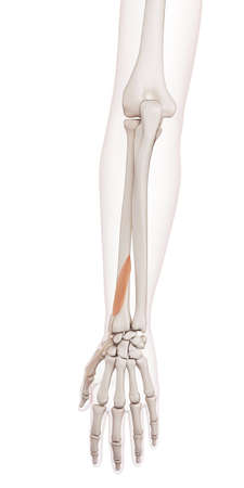 extensor: medically accurate muscle illustration of the extensor pollicis brevis Stock Photo