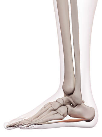 huesos: ilustración muscular médicamente exacta del abductor del meñique Foto de archivo