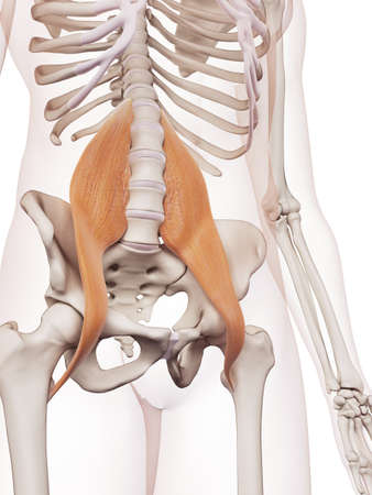 major: medically accurate muscle illustration of the psoas major Stock Photo