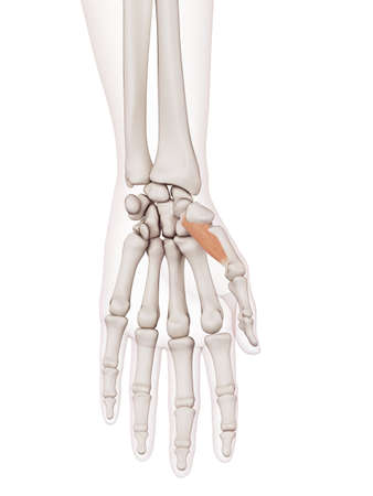 wrist joint: medically accurate muscle illustration of the opponens pollicis Stock Photo