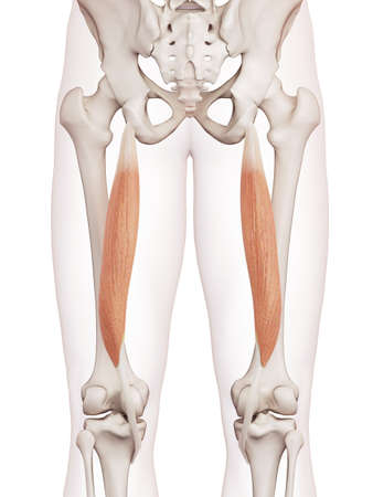 thighs: medically accurate muscle illustration of the semitendinosus