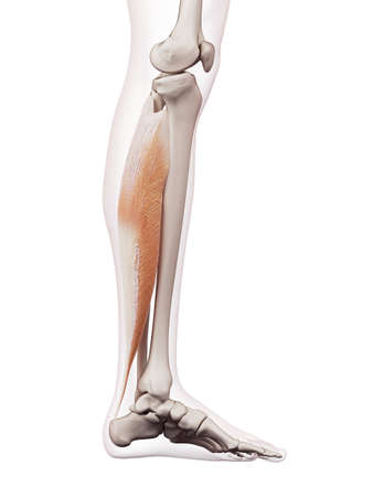 soleus: medically accurate muscle illustration of the soleus