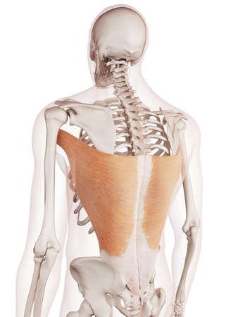 médicalement exacte illustration musculaire du muscle grand dorsal Banque d'images