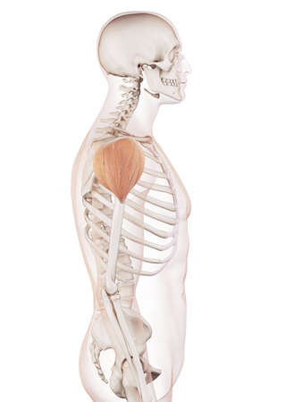 translucent: medically accurate muscle illustration of the deltoid Stock Photo