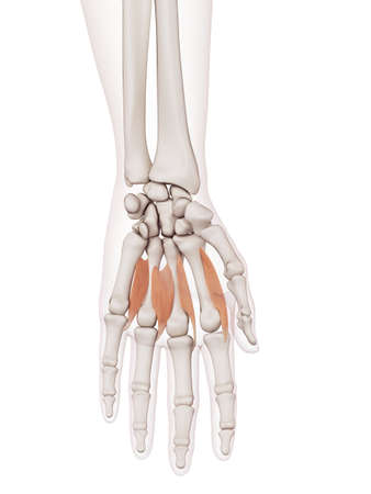 human hand: medically accurate muscle illustration of the lumbrical muscles Stock Photo