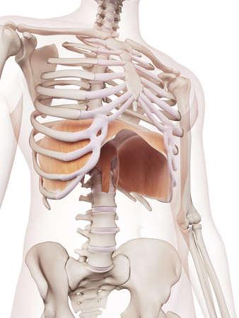 横隔膜の医学的に正確な筋肉図