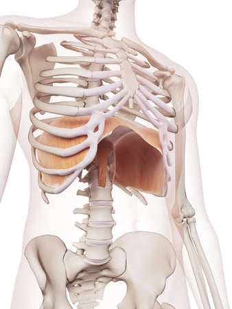 frontal: medically accurate muscle illustration of the diaphragm