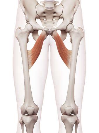 内転筋のブレビスの医学的に正確な筋肉図 写真素材