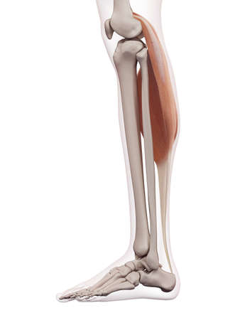 gastrocnemius: medically accurate muscle illustration of the gastrocnemius