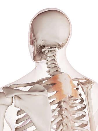 superior: medically accurate muscle illustration of the serratus posterior superior