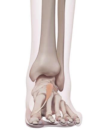 huesos humanos: ilustración muscular médicamente exacta del brevis hallucis Foto de archivo