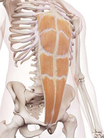 médicalement précise illustration muscle droit de l'abdomen Banque d'images