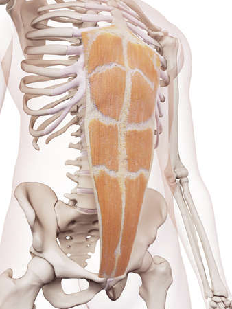 torso: medically accurate muscle illustration of the rectus abdominis