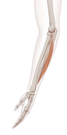 extensor: medically accurate muscle illustration of the extensor carpi ulnaris