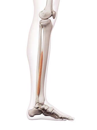 flexor: medically accurate muscle illustration of the flexor digitorum longus