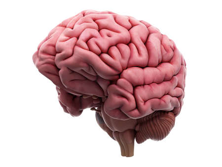 cerebrum: medically accurate illustration of the brain
