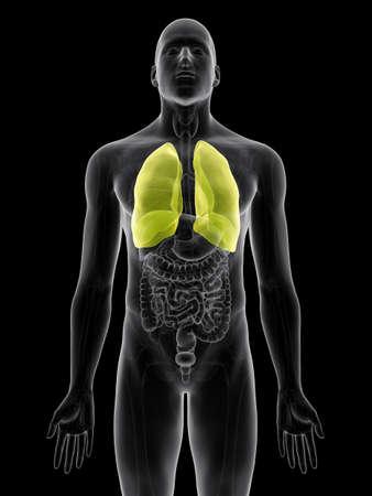 pleura: medically accurate illustration of the pleura Stock Photo
