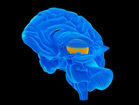 thalamus: medically accurate illustration of the thalamus Stock Photo
