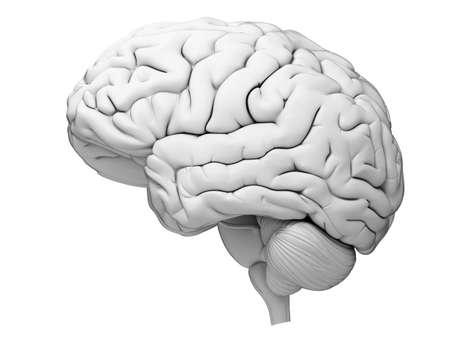 cerebro: ilustración médica precisa del cerebro humano Foto de archivo