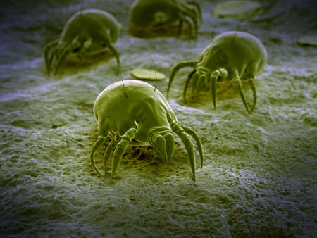 scientific illustration of a common dust mite Stock Photo