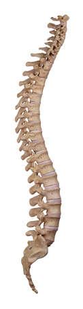 huesos humanos: ilustración médicamente exacta de la columna vertebral humana Foto de archivo