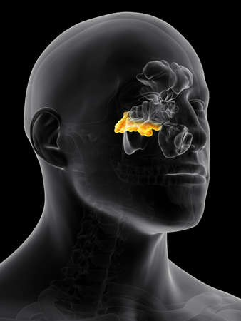 nasal cavity: medically accurate illustration of the sphenoid sinus