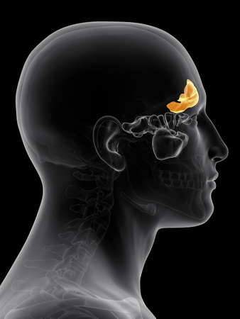nasal cavity: medically accurate illustration of the frontal sinus