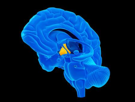 hypothalamus: medically accurate illustration of the hypothalamus Stock Photo