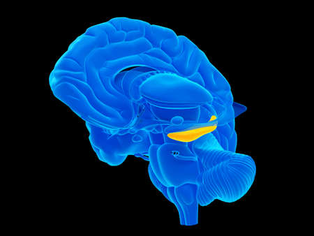 hippocampus: medically accurate illustration of the hippocampus Stock Photo