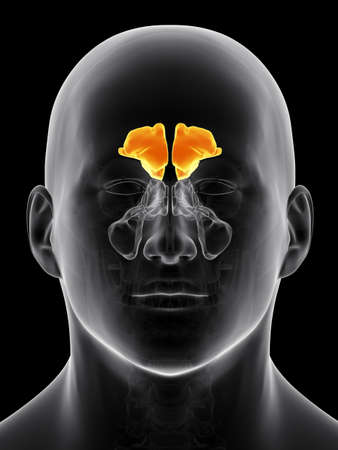 frontal: medically accurate illustration of the frontal sinus