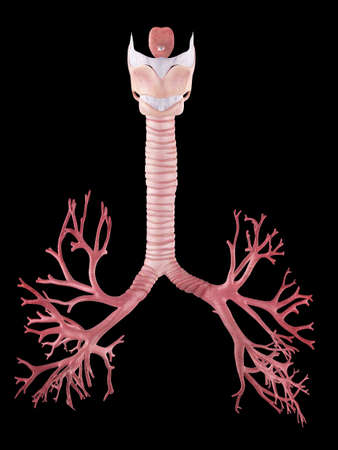 trachea: medically accurate illustration of the human bronchi