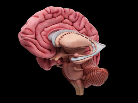 lateral: medically accurate illustration of the brain anatomy