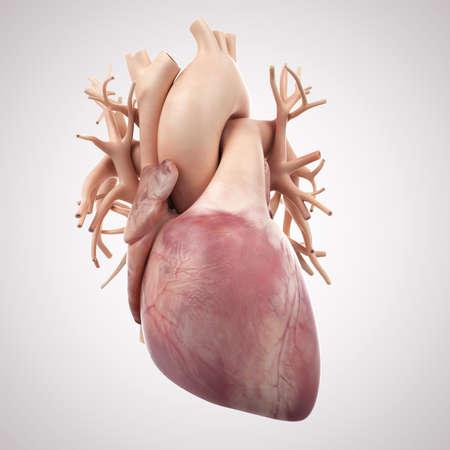 human heart: ilustración médica precisa del corazón humano