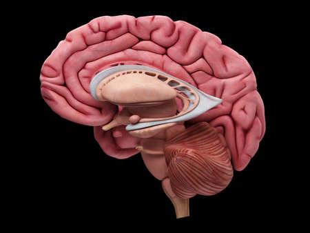 illustration médicalement précise de l'anatomie du cerveau
