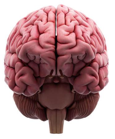 illustration médicalement précis du cerveau Banque d'images