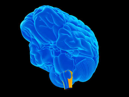 medulla: medically accurate illustration of the medulla oblongata Stock Photo