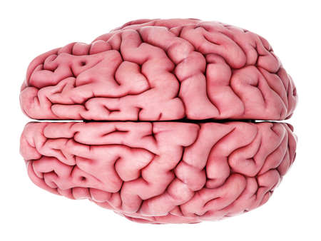 brain: medically accurate illustration of the brain