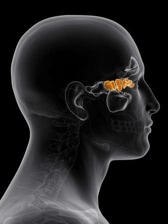 ethmoid: medically accurate illustration of the ethmoid sinus