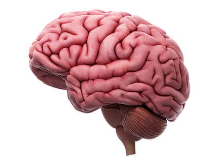 anatomie: medisch nauwkeurige illustratie van de hersenen