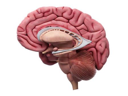 脳の解剖学の医学的に正確な図