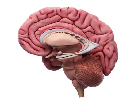 anatomia: ilustración médicamente precisa de la anatomía del cerebro