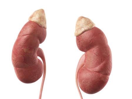 suprarrenales: ilustración médica precisa del riñón Foto de archivo