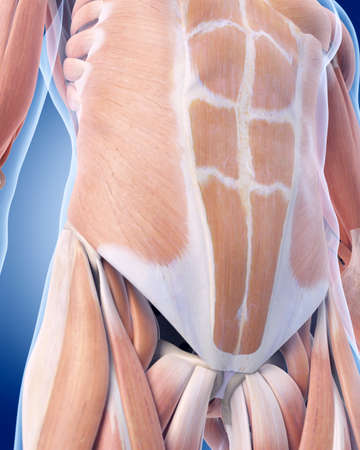 abdominal exercise: medically accurate illustration of the abdominal muscles Stock Photo