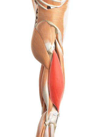 upper: medically accurate illustration of the vastus lateralis