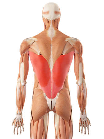 medically accurate illustration of the latissimus dorsi Stock Photo