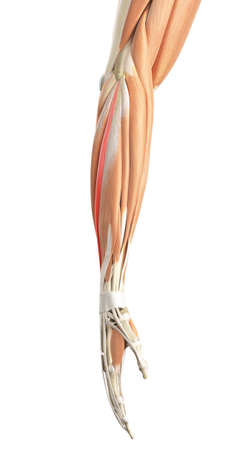extensor: medically accurate illustration of the extensor digiti minimi