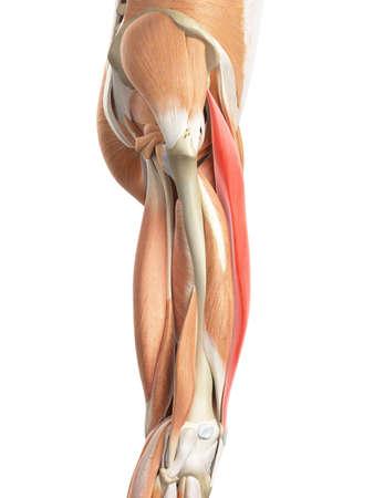 rectus: medically accurate illustration of the rectus femoris Stock Photo